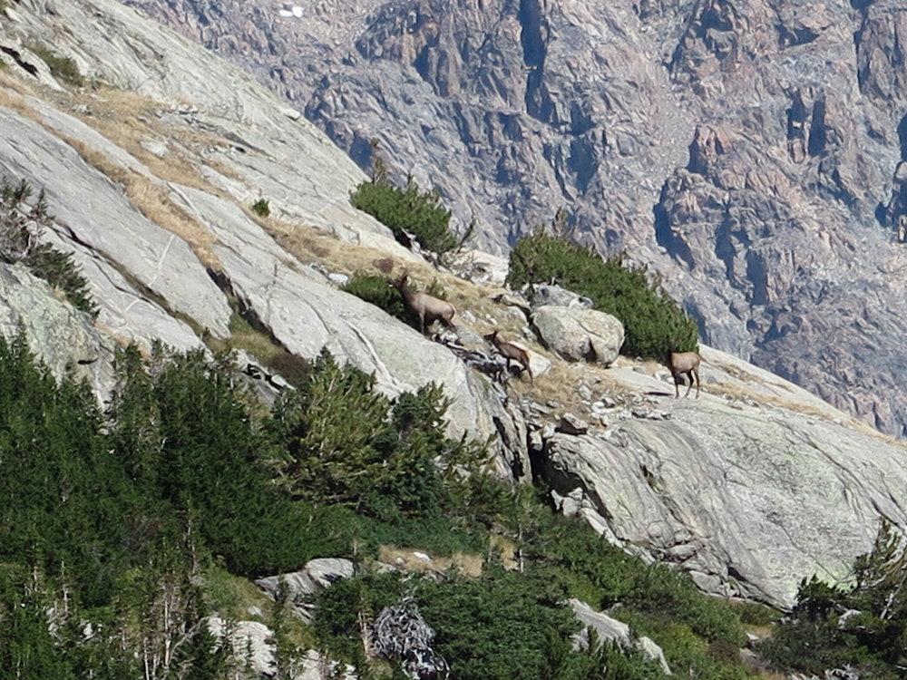 Elk, navigating a steep slope.